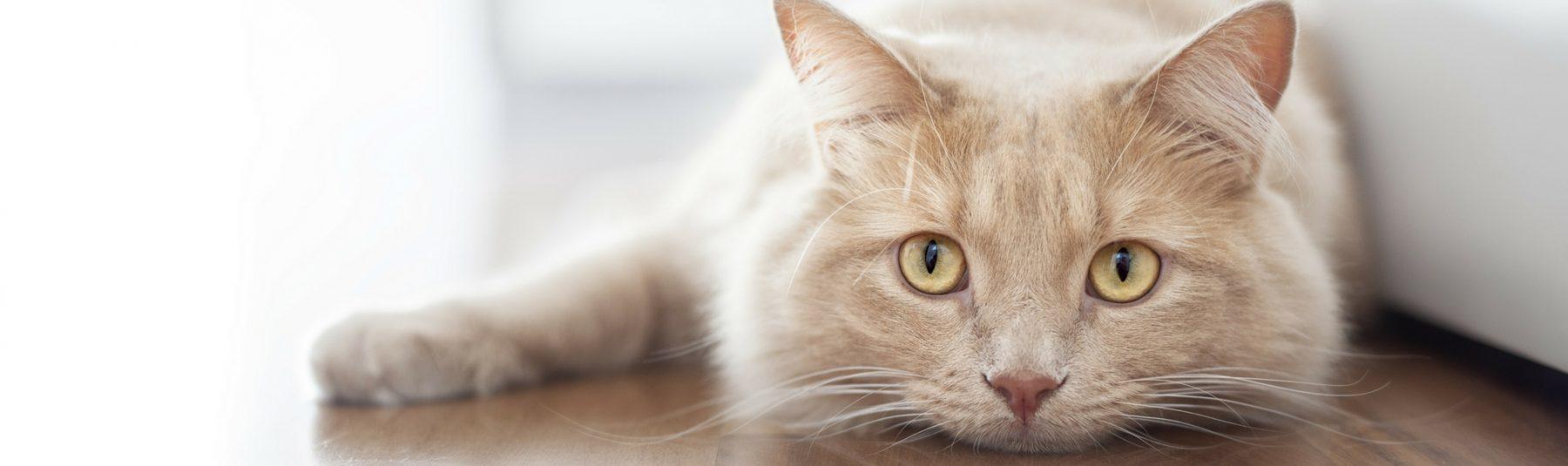 cat-euthanasia