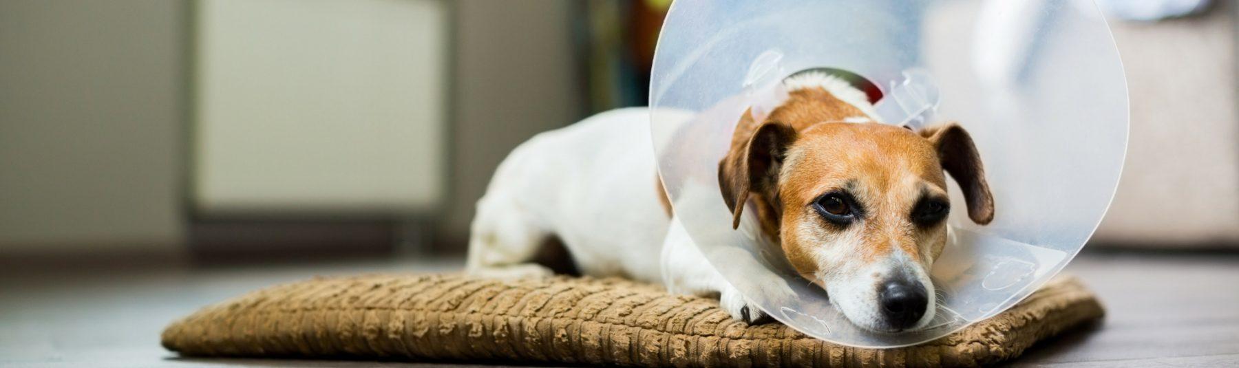 puppy-spay-neutering
