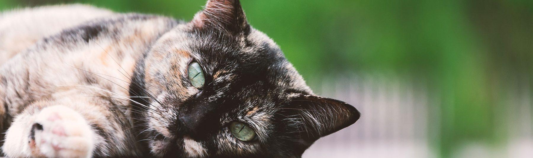senior-cat