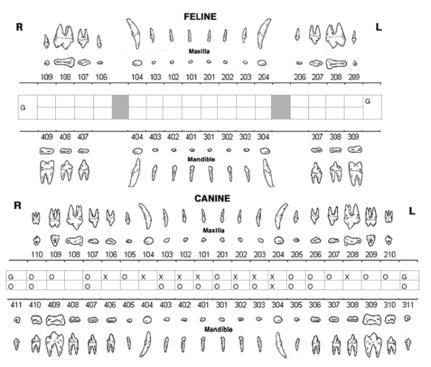 Feline and canine dental chart