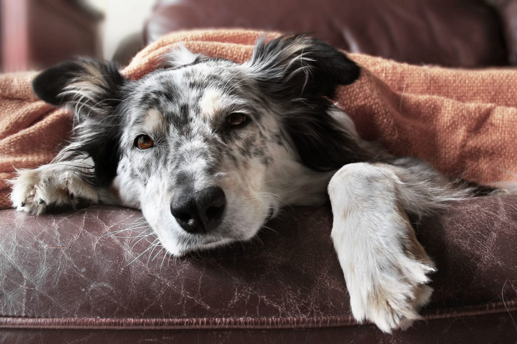 Sick dog laying on the couch