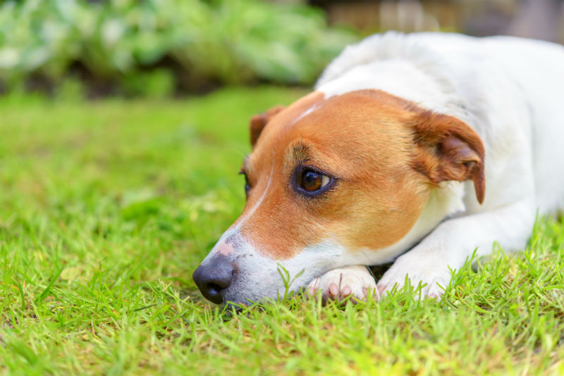 Symptoms of Canine Distemper2