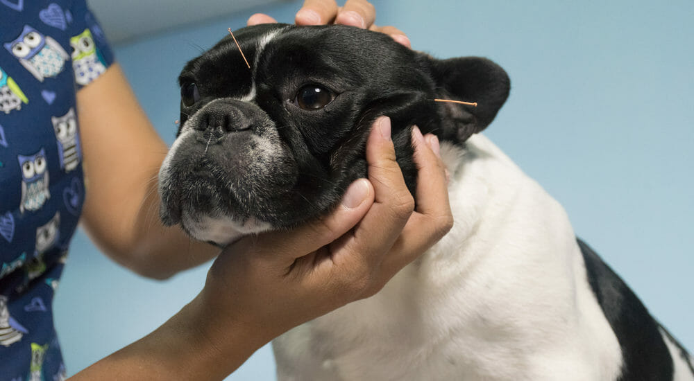 Dog receiving acupuncture treatment
